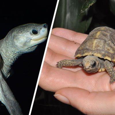 Ob Batagur-Flussschildkröte (l.) oder Waldschildkröte - sie werden am Weltschildkrötentag gefeiert