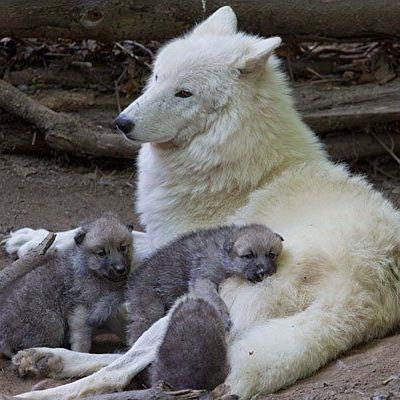 Die Wolsmutter mit ihren Jungen im Tiergarten Schönbrunn