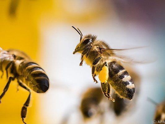 28,5 Prozent aller heimischer Bienenvölker überlebten den Winter nicht