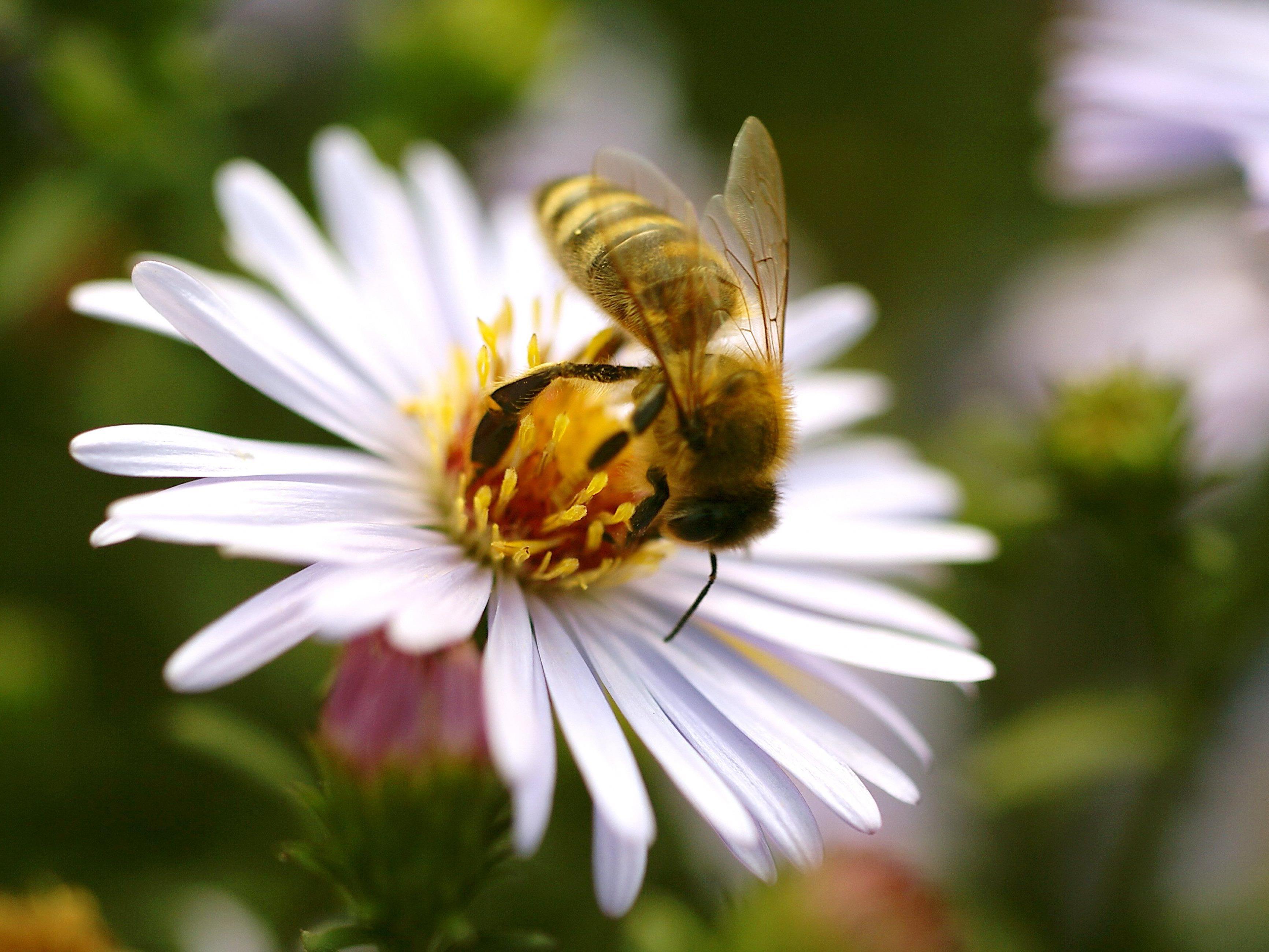 Noch gibt es keine Mehrheit für umfassendes Verbot von bienenschädlichen Pestiziden in Österreich.