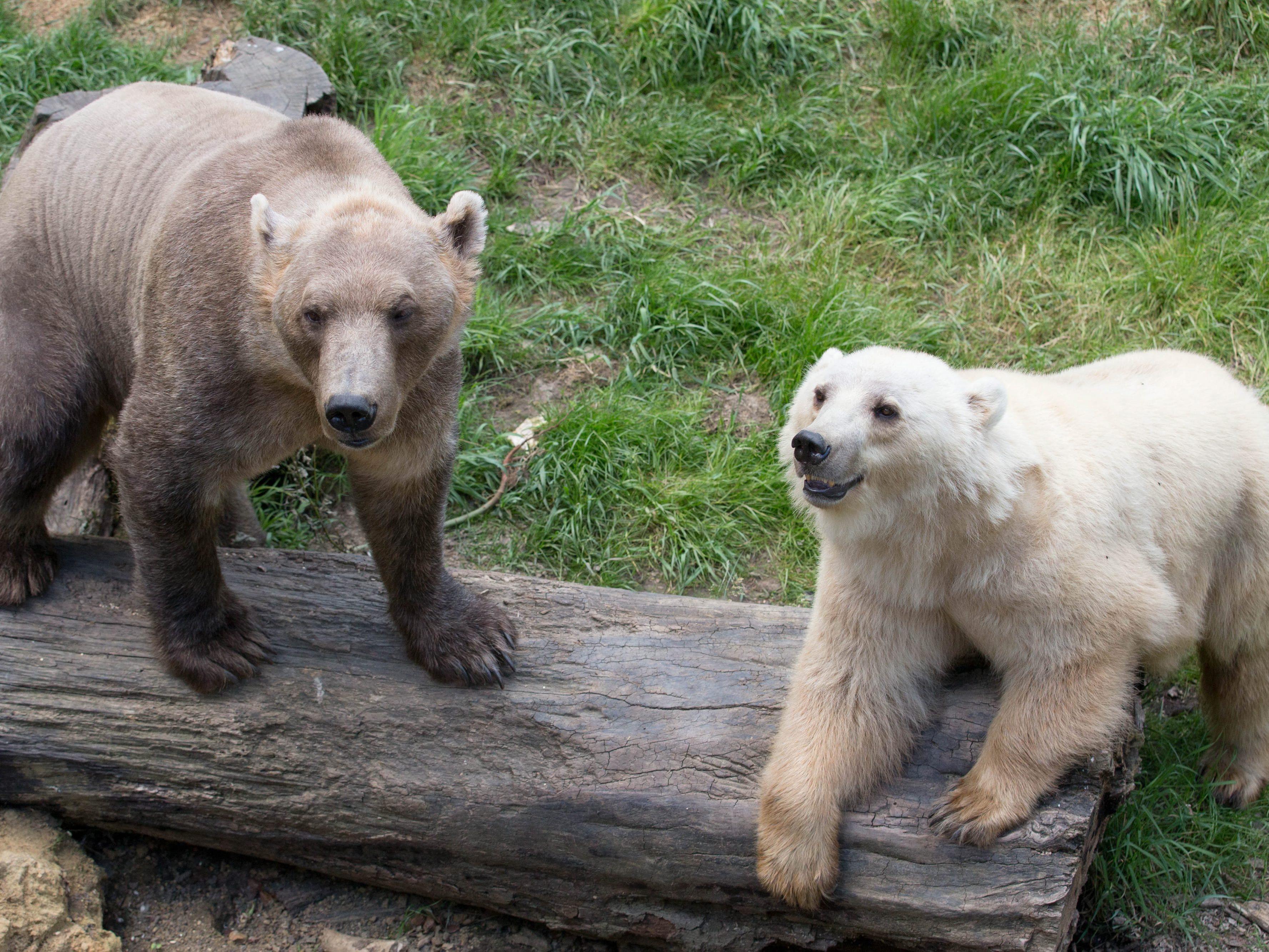 Eisbären und Grizzlys begegnen einander in freier Wildbahn in den Regionen rund um den Nordpol, Nachwuchs inklusive.