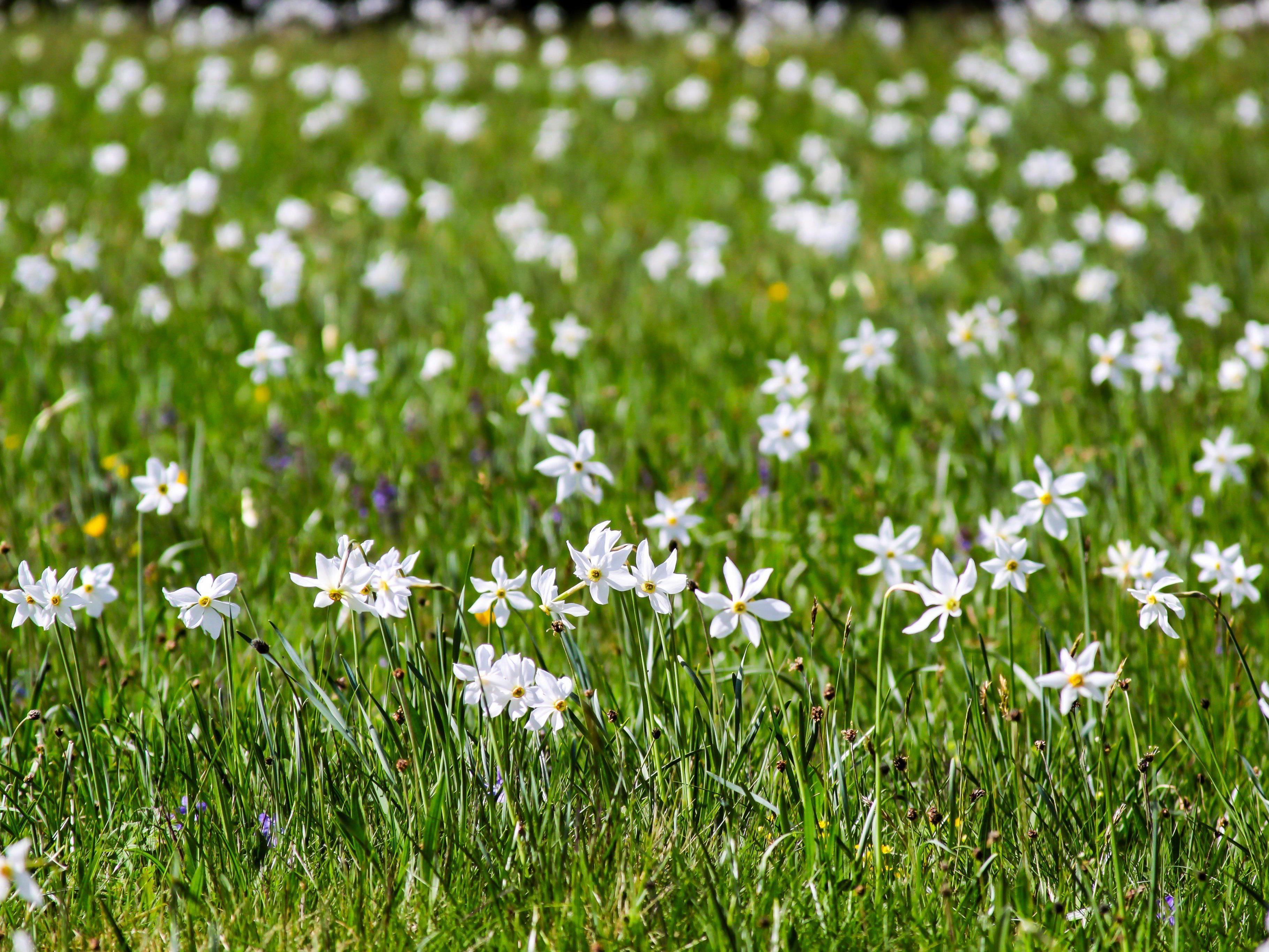 Millionen von Narzissen blühen im Frühjahr in Seewis in der Schweiz.