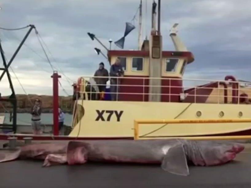 Aus Versehen: Fischern geht Riesenhai ins Netz