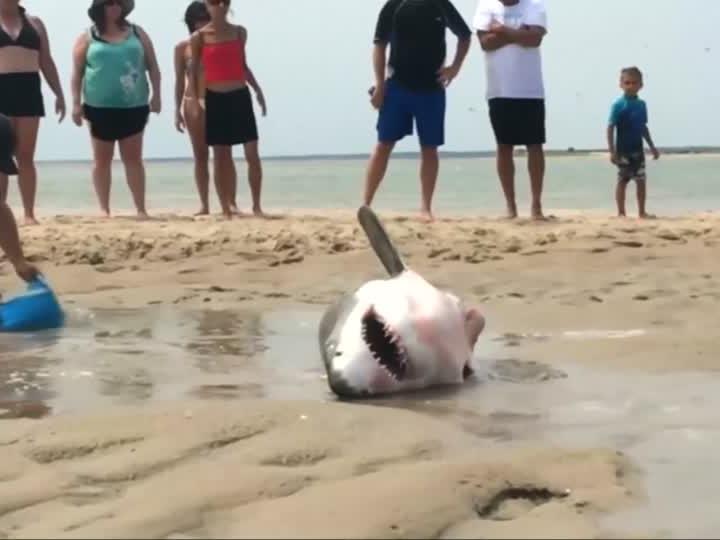 Hai strandet - Spaziergänger helfen