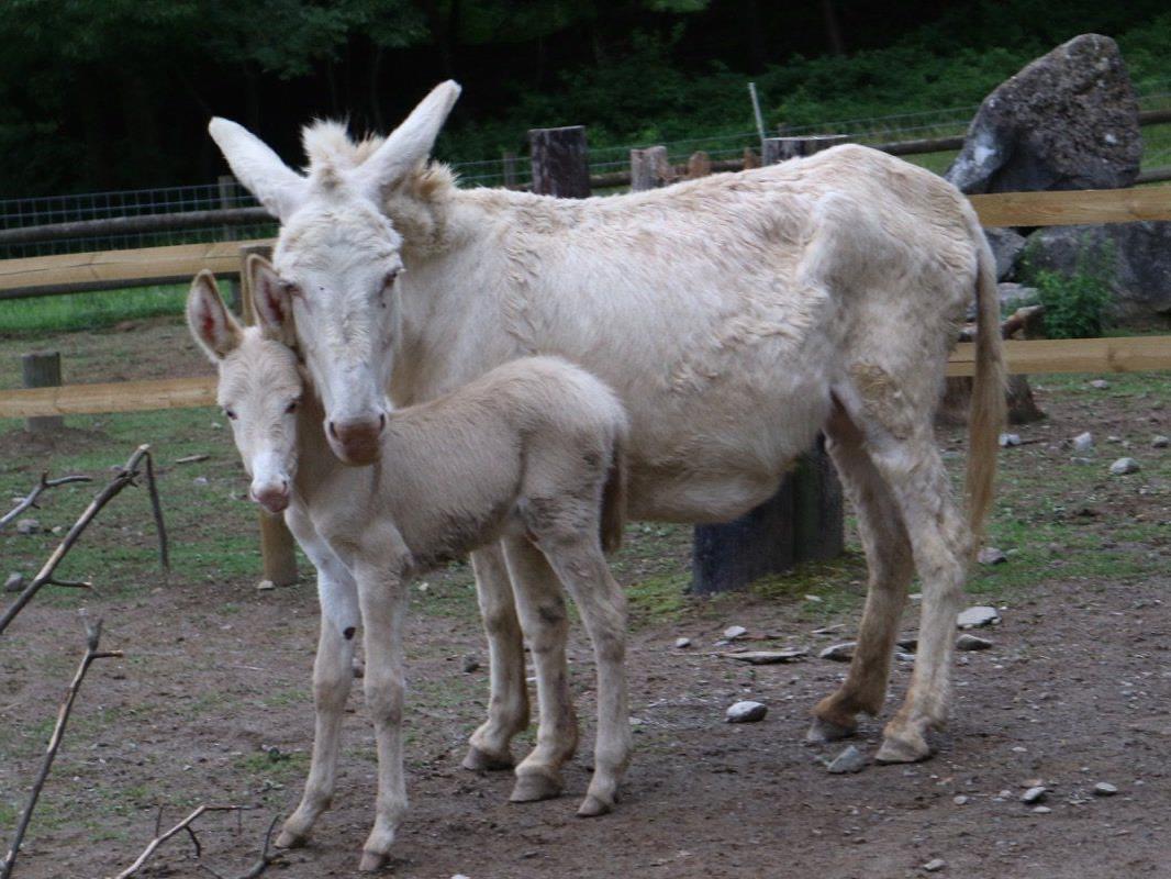 Stolz zeigt sich Esel-Mama Sissy nach einer Tragezeit von zwölf Monaten mit dem putzigen Langohr-Nachwuchs zwei Tage nach dessen Geburt.