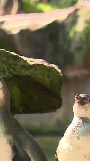 Kleine Pinguine ganz groß