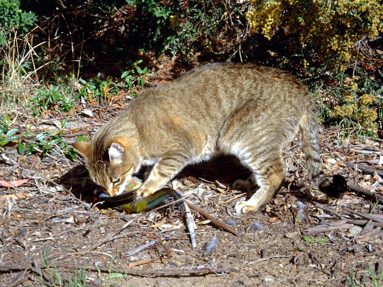 Australien will zwei Millionen wilde Katzen töten