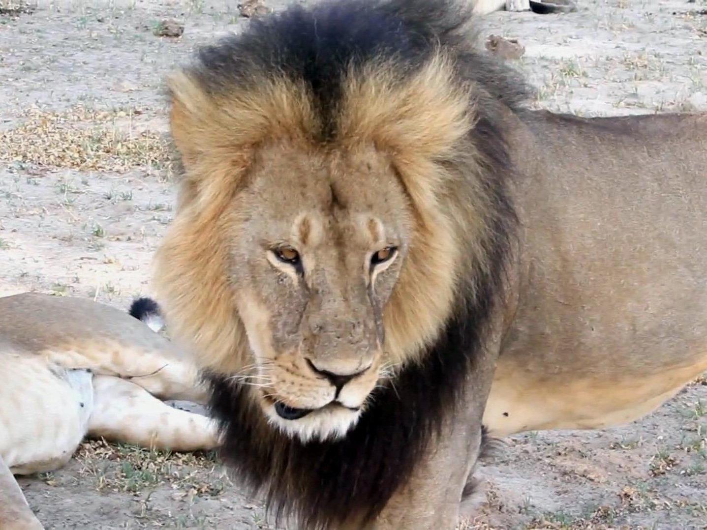 US-Zahnarzt soll bekanntes Tier aus Nationalpark gelockt haben.