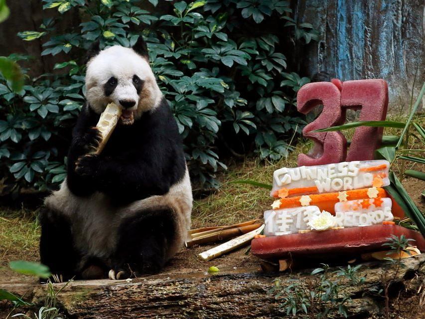 37 Jahre: Dieses stattliche Pandabären-Alter hat Jia Jia erreicht.