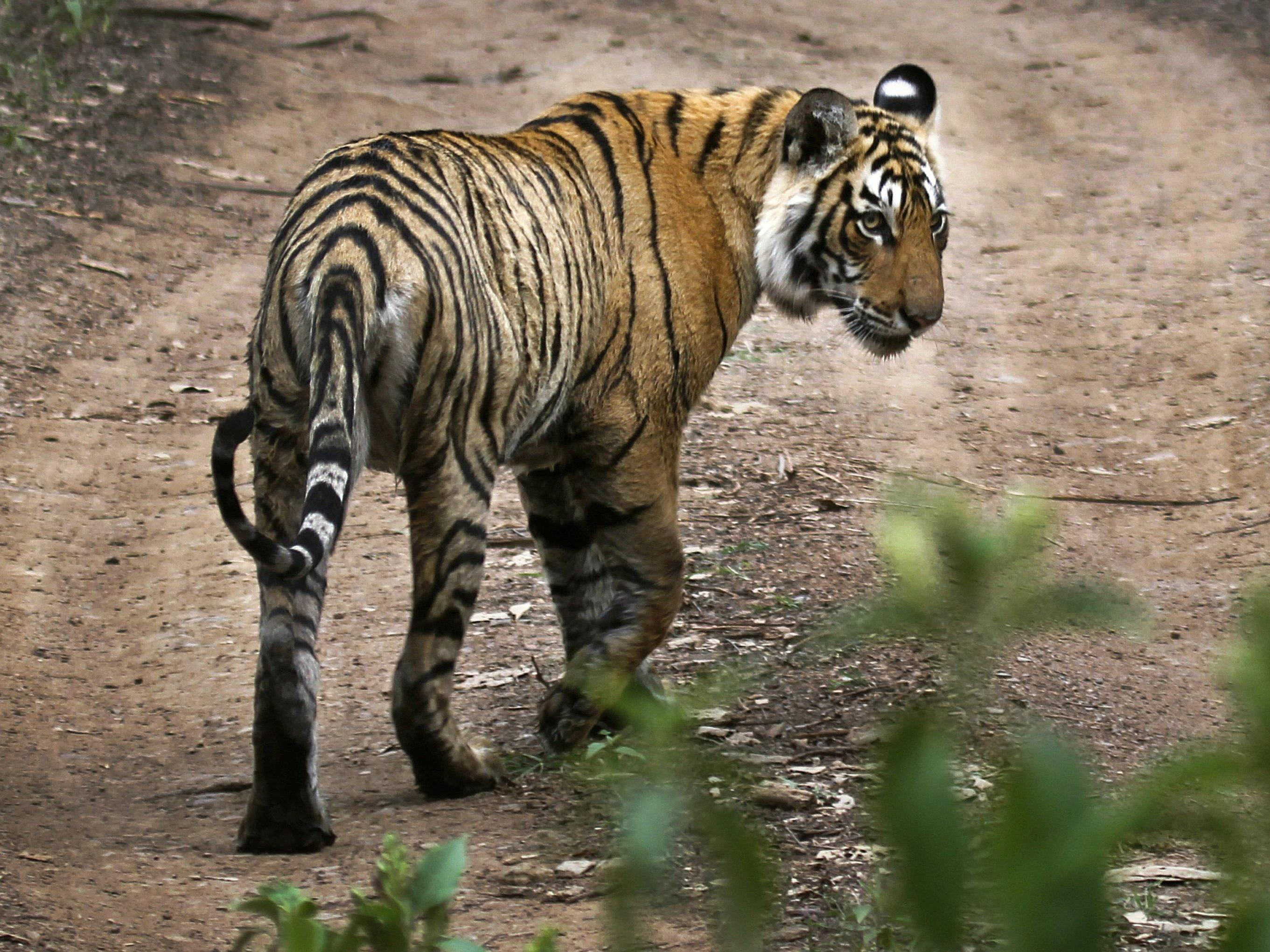 Viel weniger Tiger als gedacht