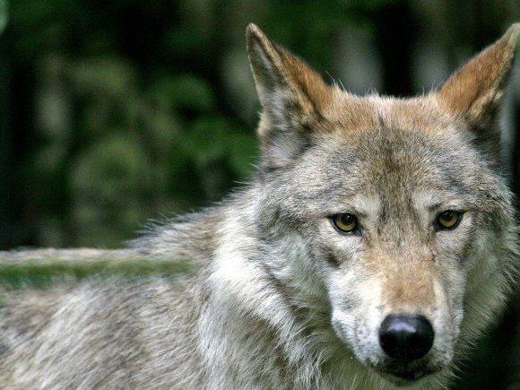 Wolf hält Lech in Atem.