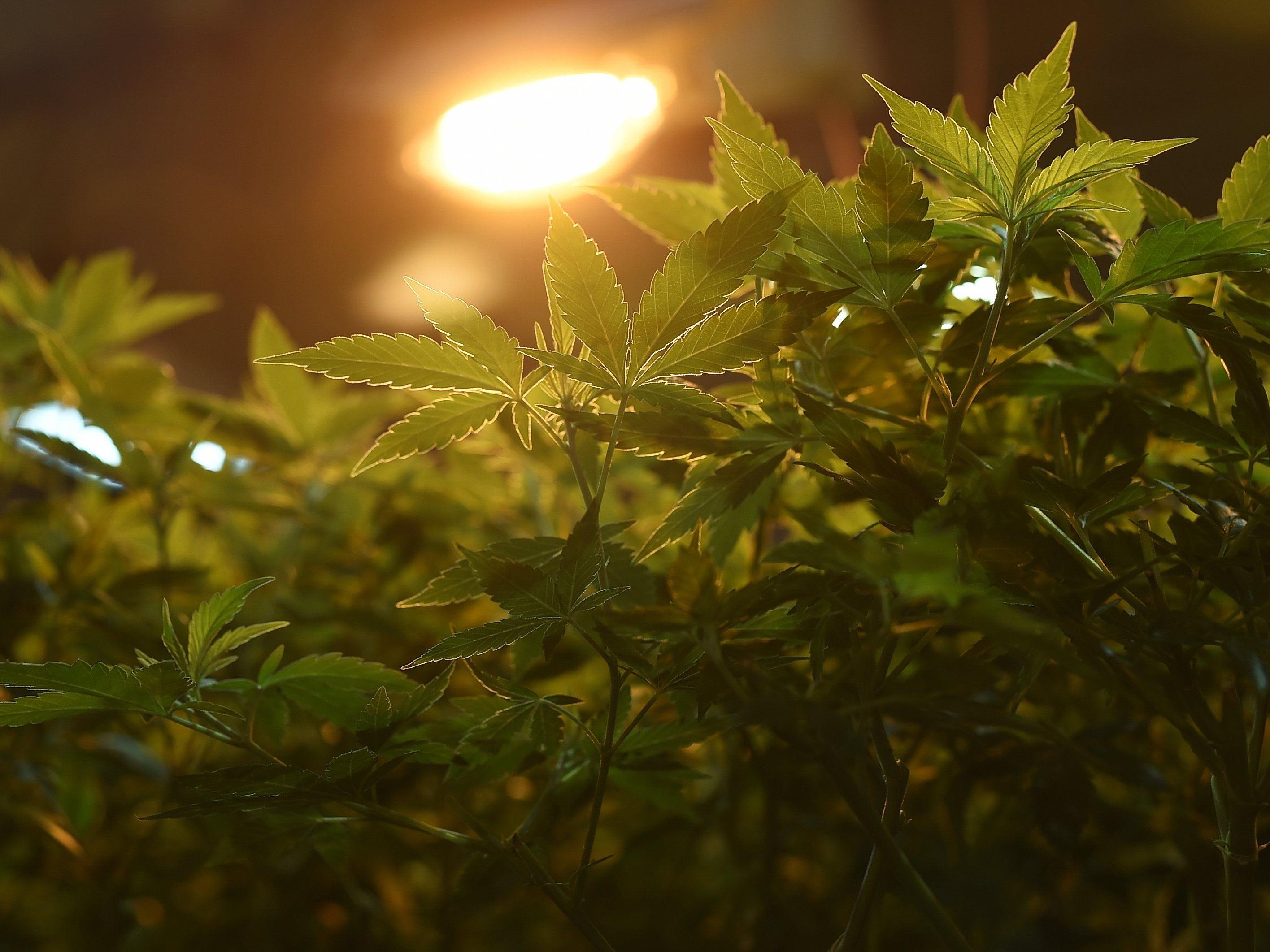 Ein 23-Jähriger soll knapp siebeneinhalb Kilo Marihuana verkauft haben.