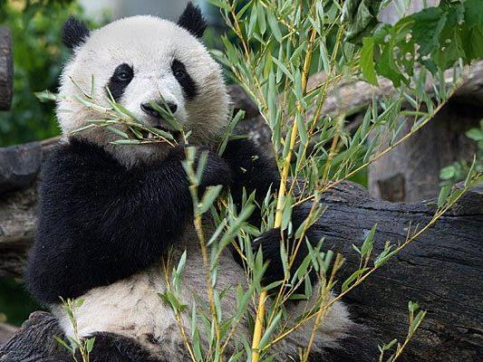 So groß ist Fu Bao im tiergarten Schönbrunn geworden