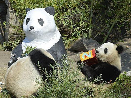 Fu Bao (r.) freut sich über die Geschenke