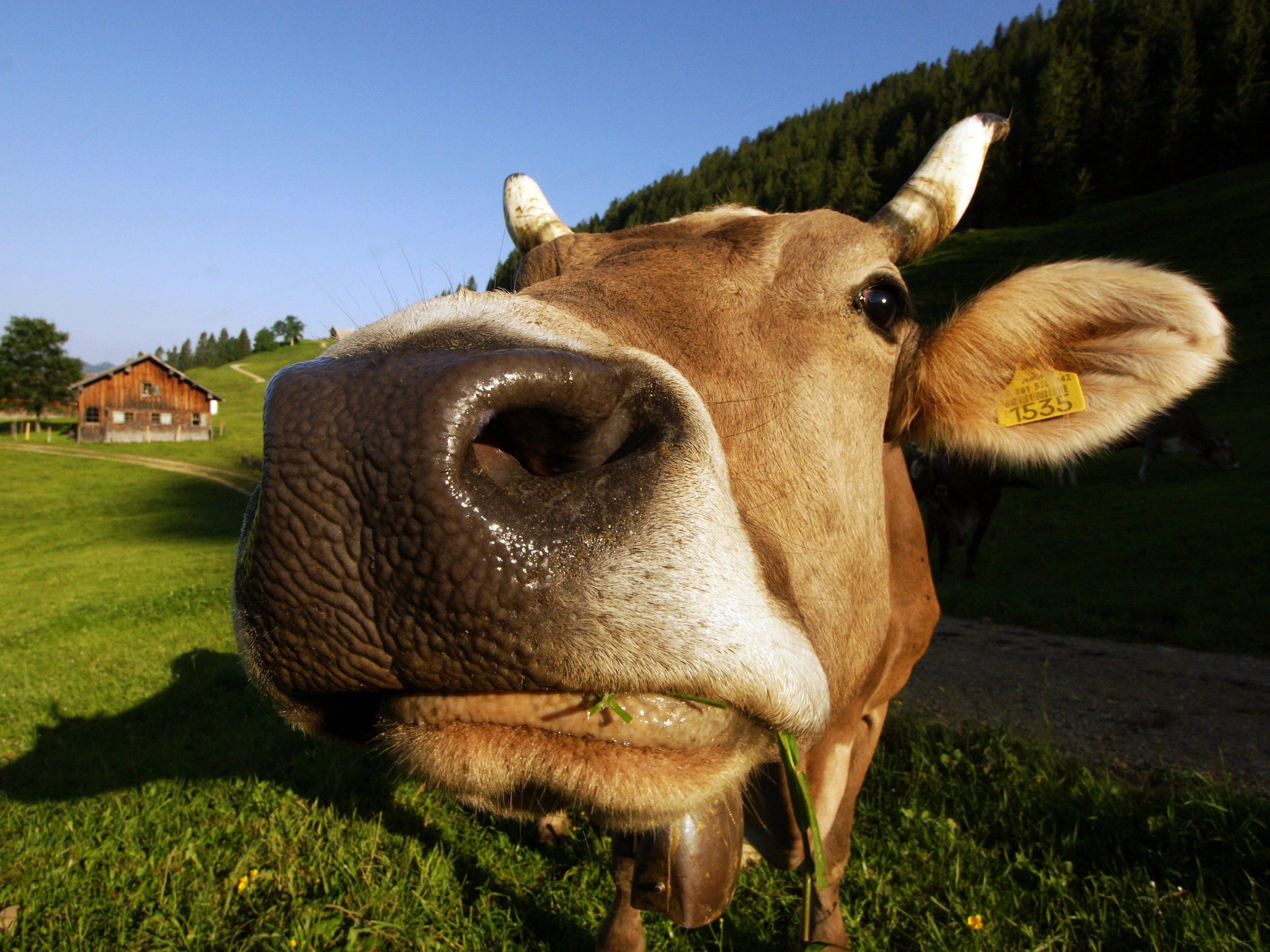 Deutsche Tierschützer halten Kuhglocken für Tierquälerei und fordern Verbot.