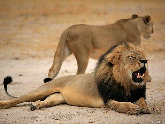 Der Löwe Cecil wurde Anfang Juli erschossen