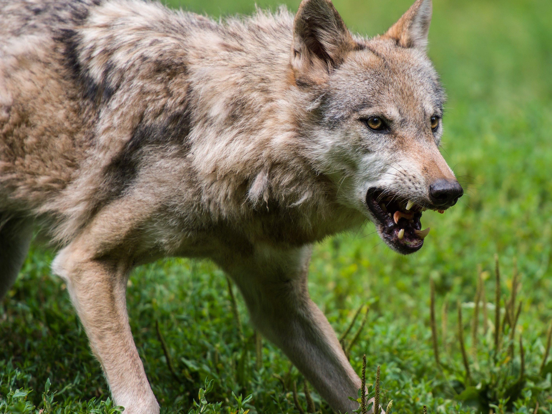 Jener Wolf, der im Klostertal Schafe gerissen hat, soll eigentlich aus der Schweiz kommen.
