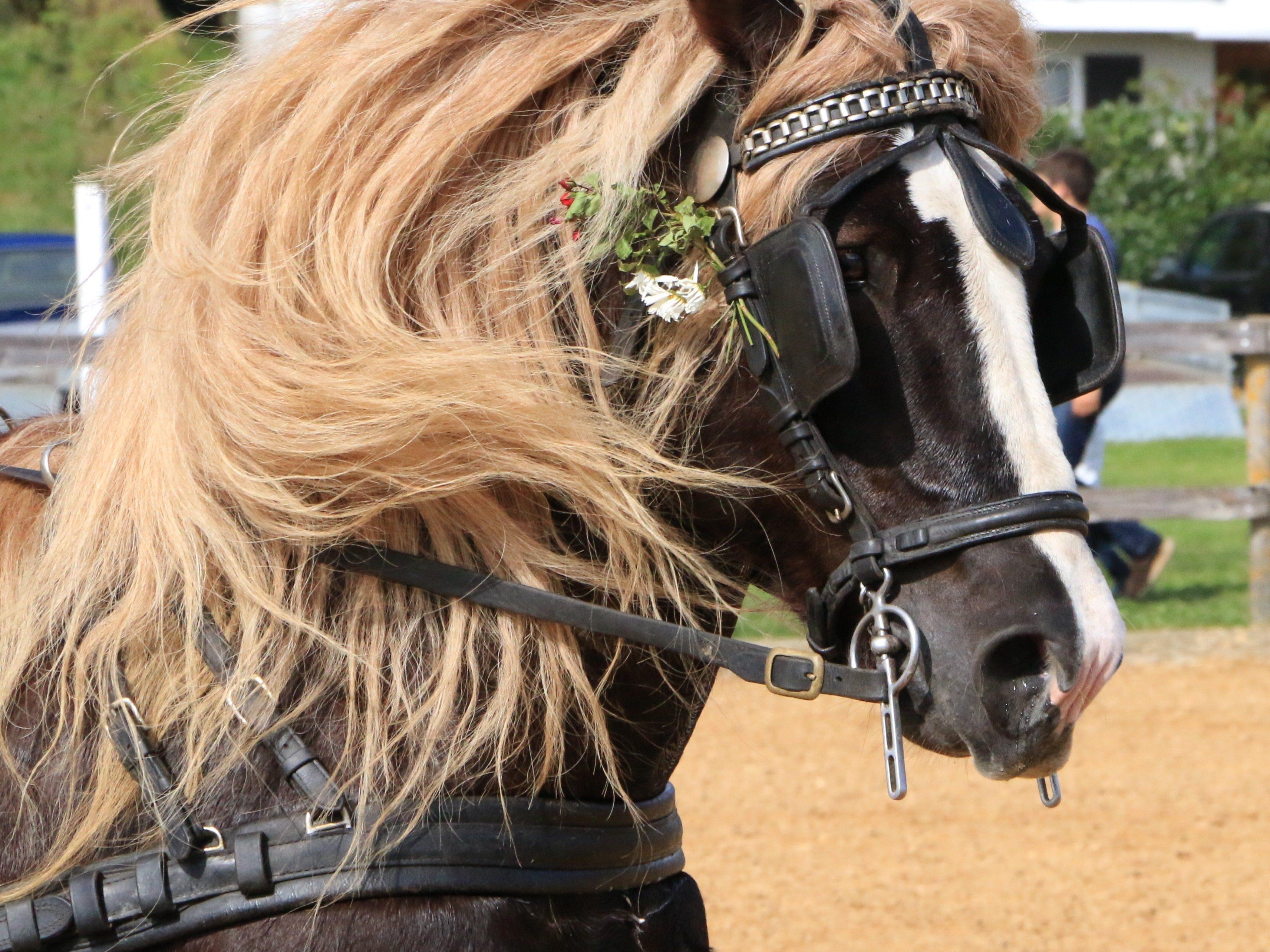 Hübsch gestylt zum Tag des Pferdes