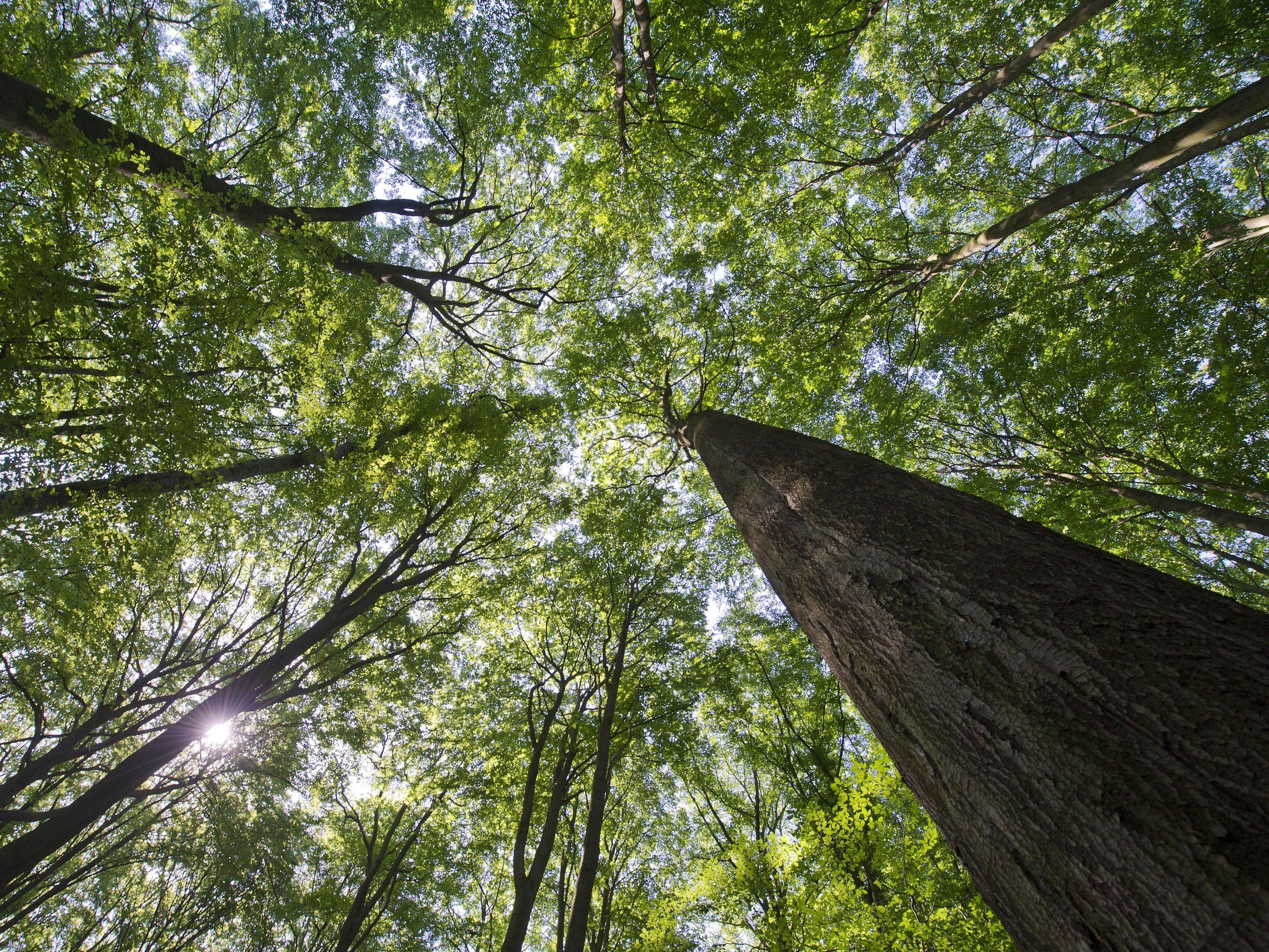 Die Buchenwälder sollen Österreichs erstes Weltnaturerbe werden