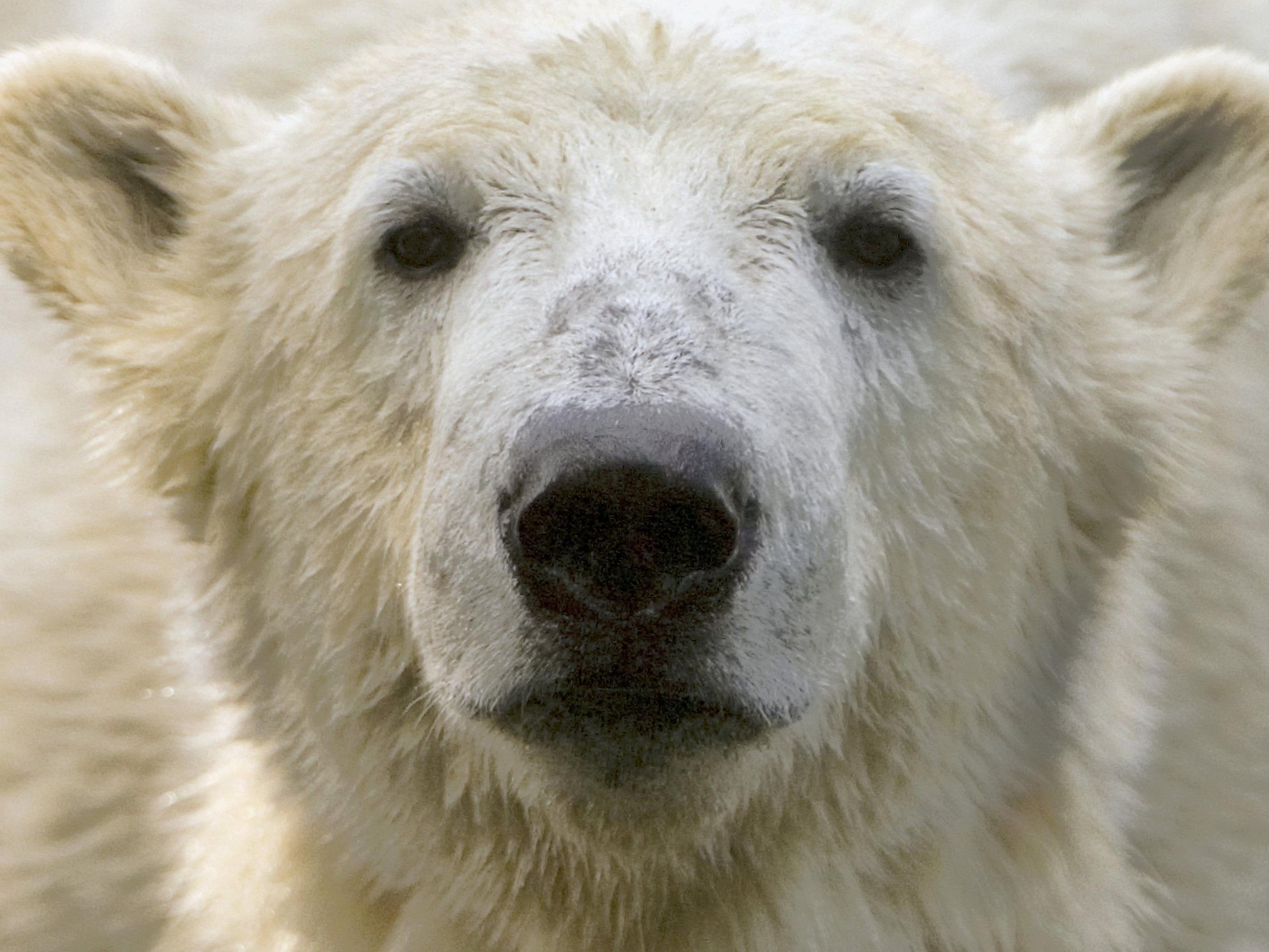 Bis zu fünf Eisbären belagern die Station