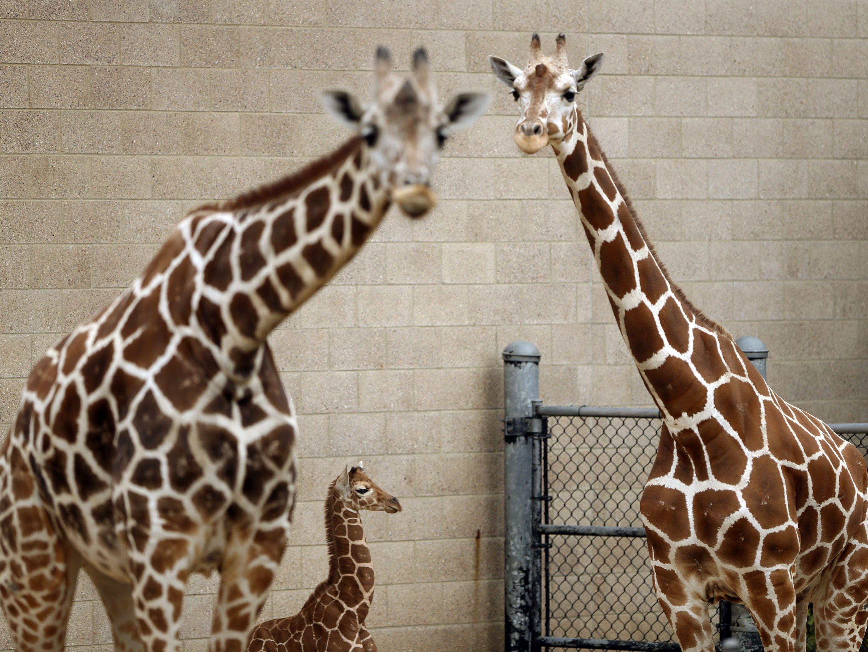 Summen von Giraffen könnte der Kontaktaufnahme dienen.