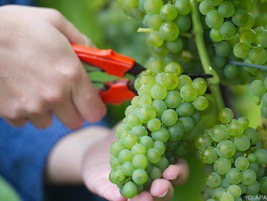 Freche Traubendiebe räumten ganze Weingüter ab