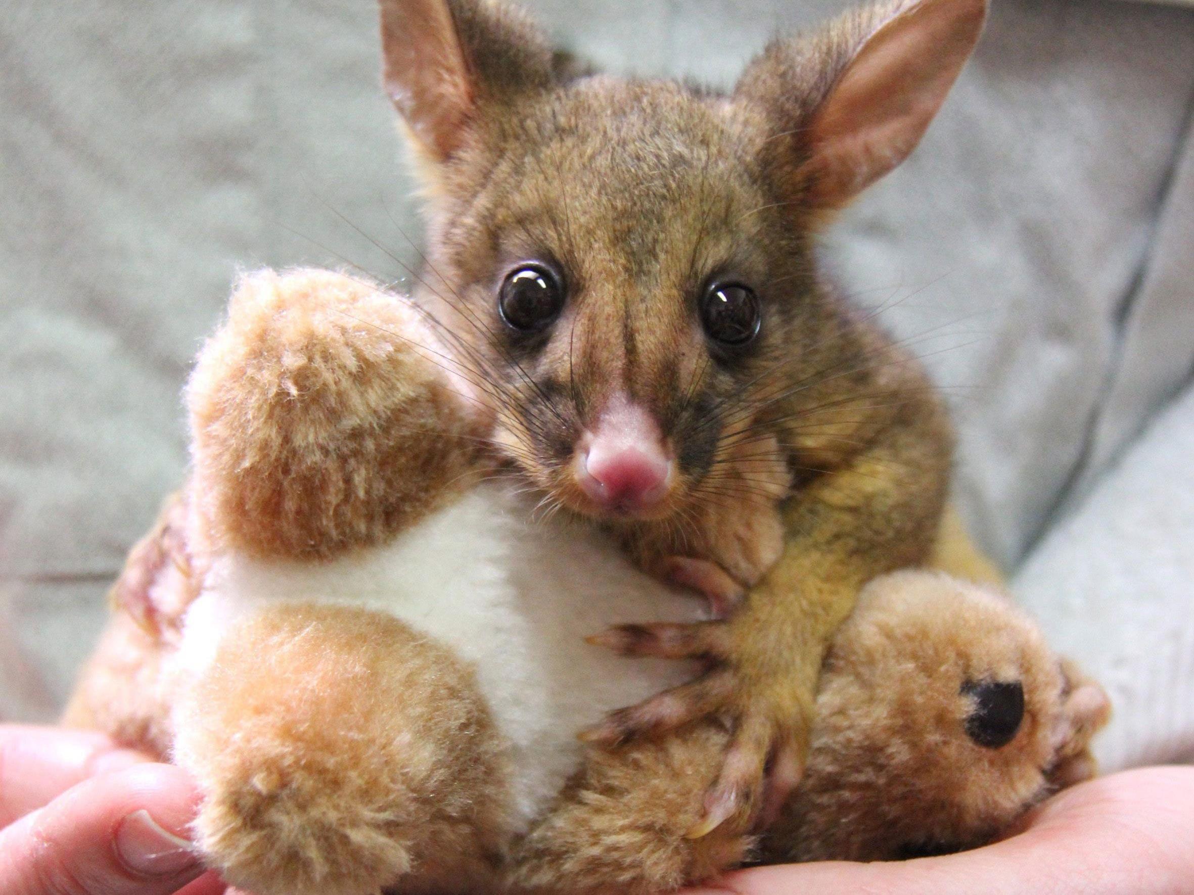 Verwaistes Beuteltier-Baby kuschelt sich an Plüsch-Känguru