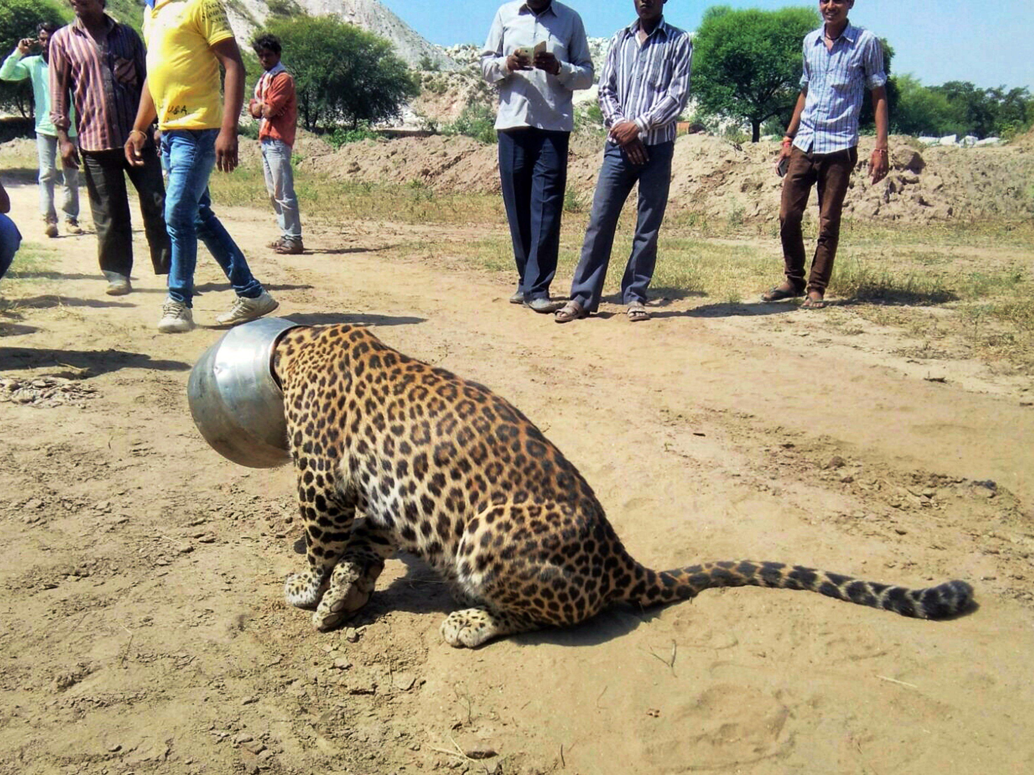 Und plötzlich war der Kopf im Topf: Leopard taumelt stundenlang durch indisches Dorf.