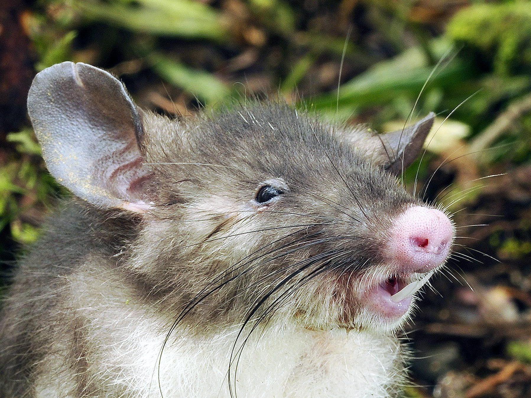 Ratte mit Schweinchennase auf Sulawesi entdeckt.