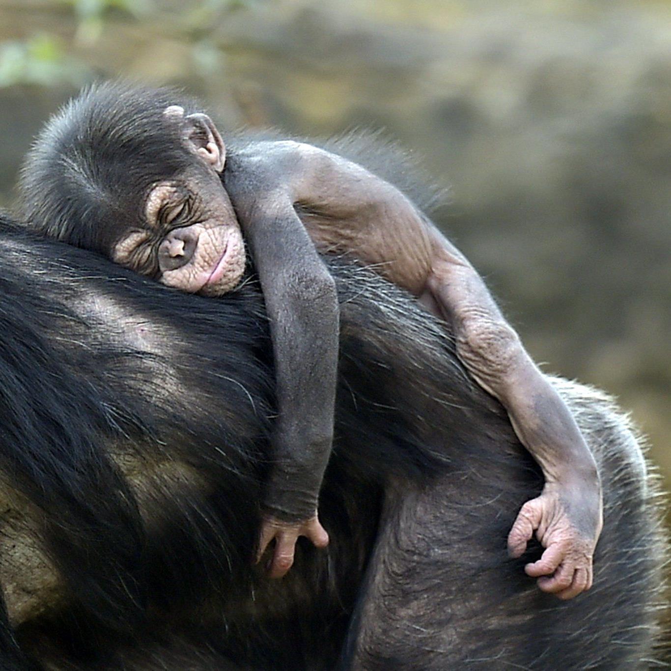 Schimpansen-Fürsorge könnte Sozialverhalten erklären helfen.