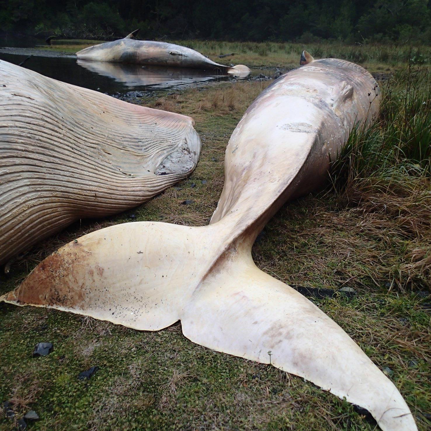 """Mehr als 330 Walen verenden im Süden Chiles """"bei demselben Ereignis""""."""