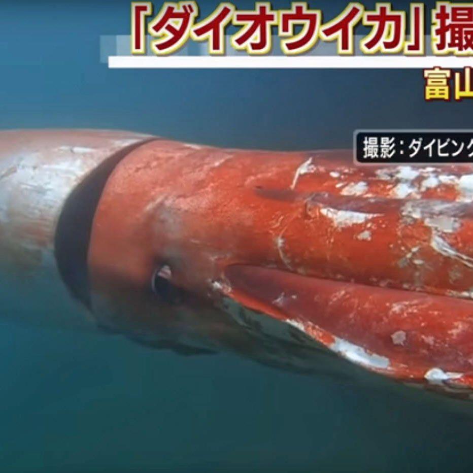 Video mit Seltenheitswert: Ein junger Riesenkalmar verirrte sich in einen japanischen Hafen.