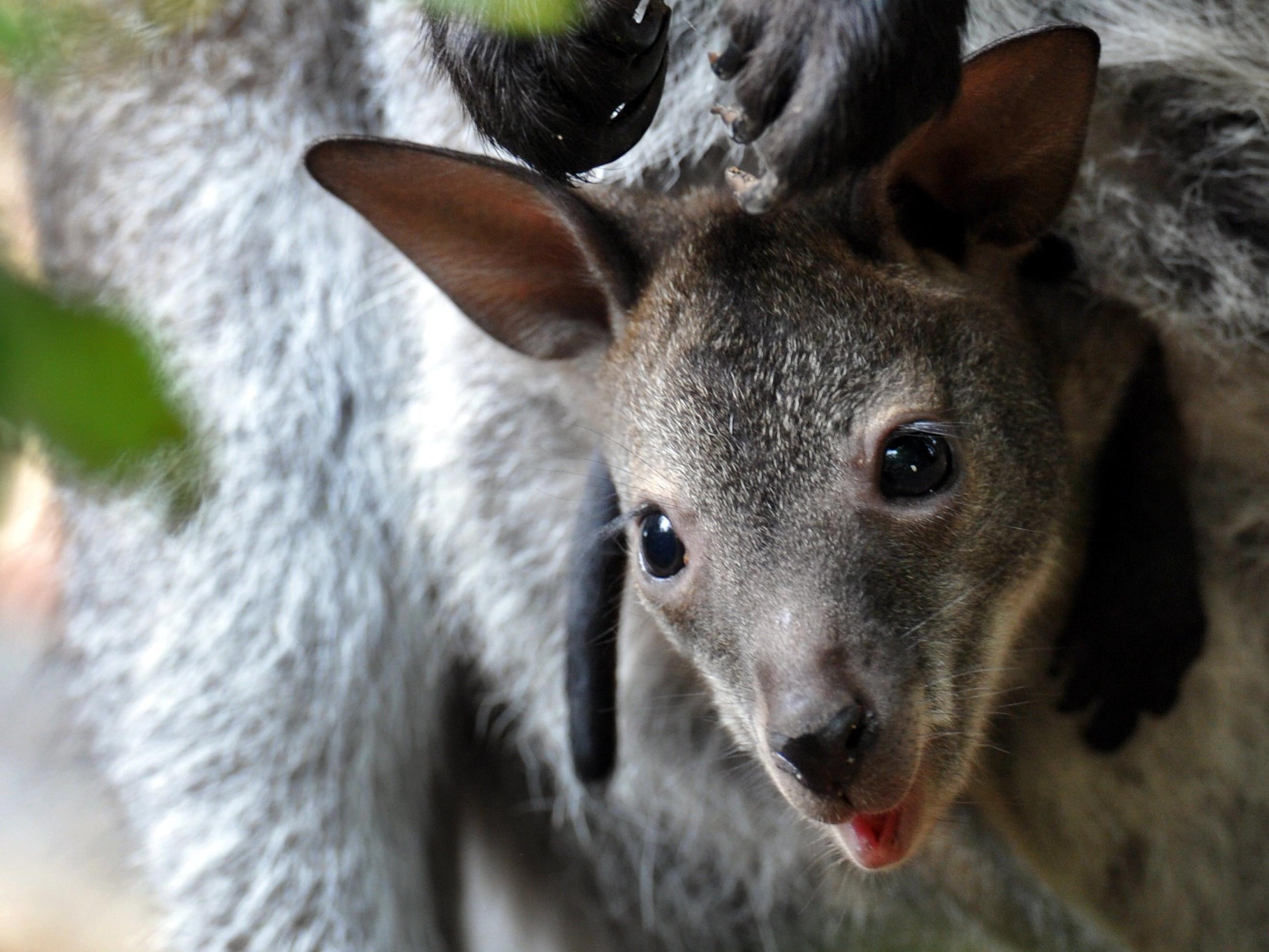 19-Jähriger wegen Känguru-Bombe seit zehn Monaten in Haft.