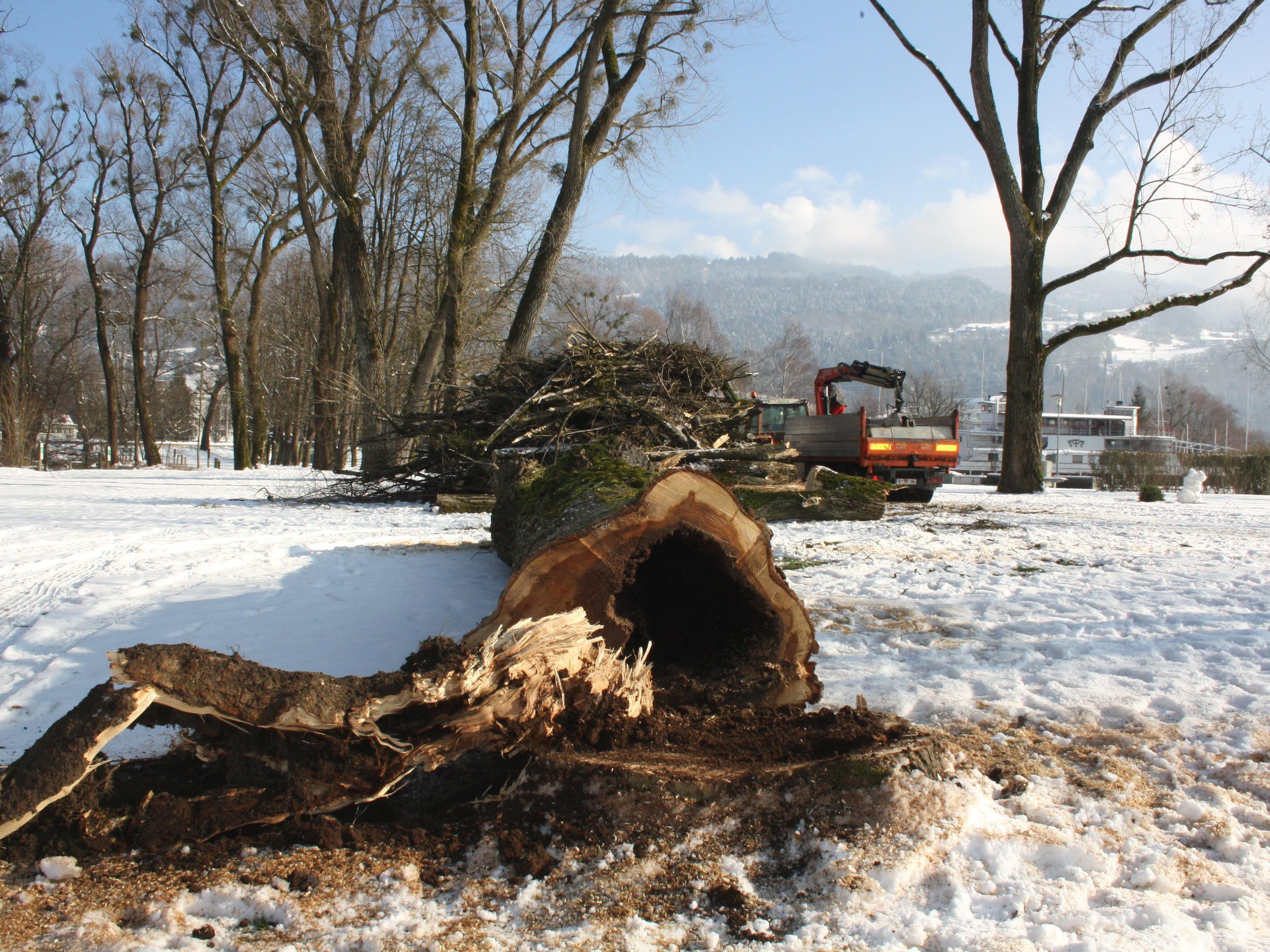 Zu den umfassenden Aufgaben des Wirtschaftshofes der Gemeinde Lochau gehören auch die fachmännische Baumpflege sowie oft notwendige Baumfällungen.