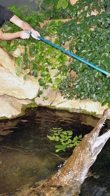 Im Haus des Meeres kann nun eine Krokodilfütterung bestaunt werden.