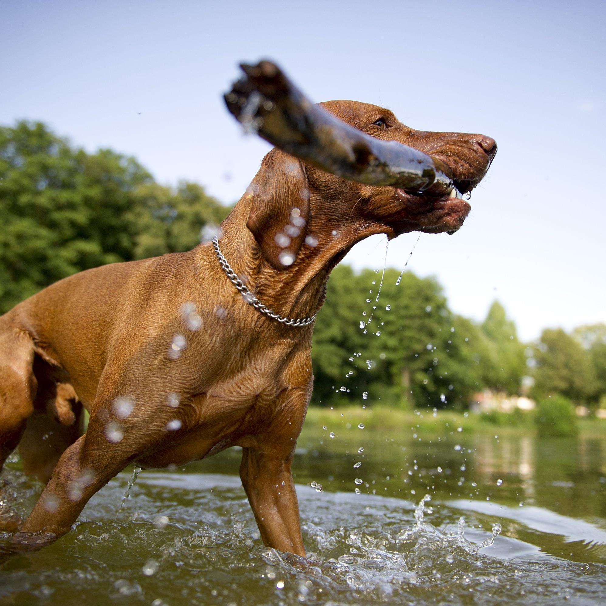 Stöckchenwerfen: Hunde können durch Holzsplitter schwer verletzt werden - Ärzte warnen.