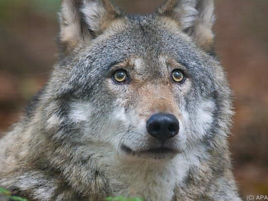Im Waldviertel sind offenbar wieder Wölfe unterwegs