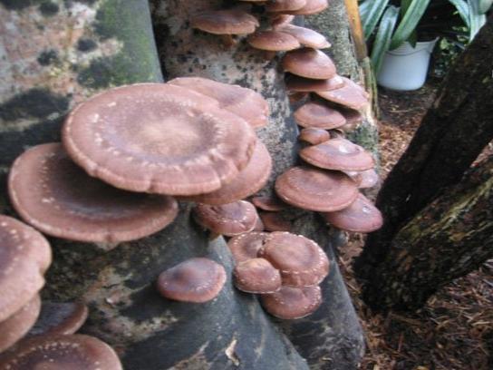 Shiitake Pilze auf dem Holzstamm..