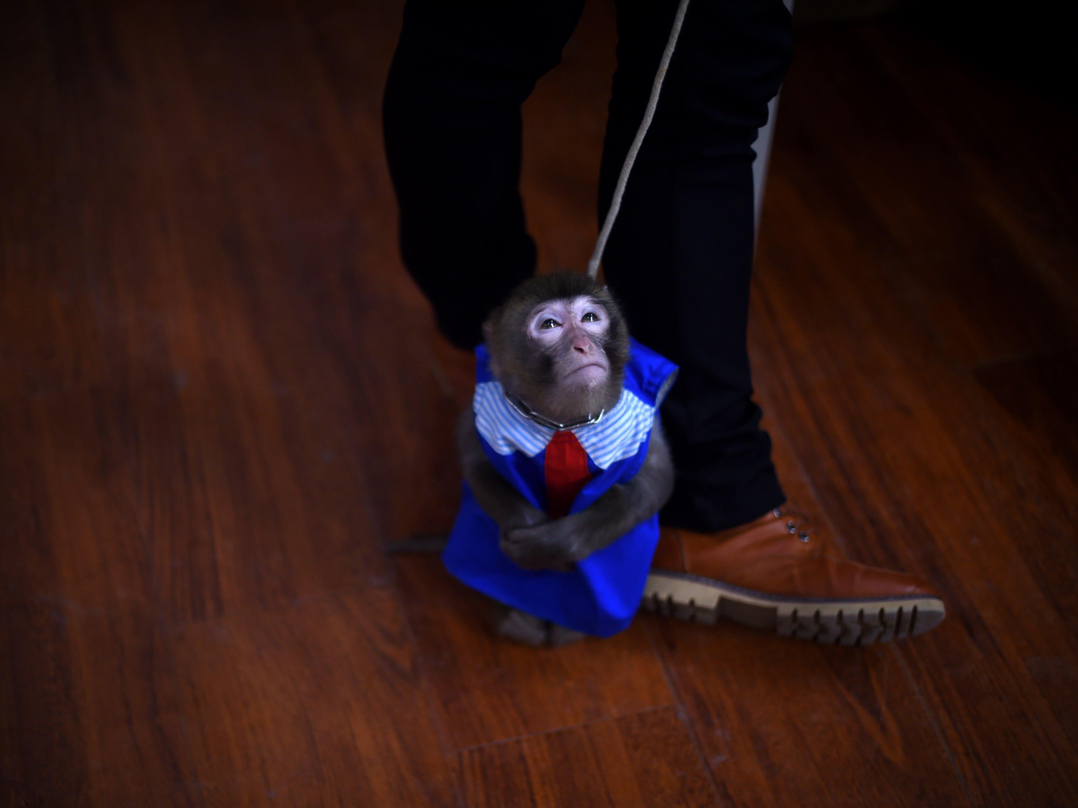 Jahr des Affen: Anlässlich der Festlichkeiten werden in China seit letzten Jahr tausende Affen trainiert.