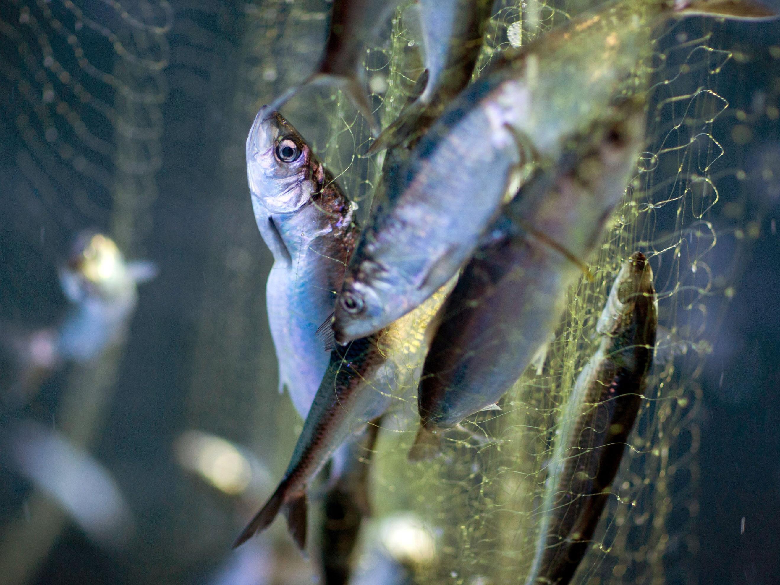 Greenpeace-Test in Supermärkten: Produkte für Heringsschmaus aus kritischen Fanggebieten