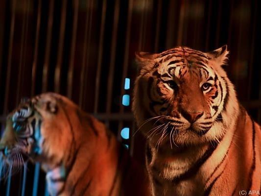 Immer noch werden Wildtiere im Zirkus gehalten