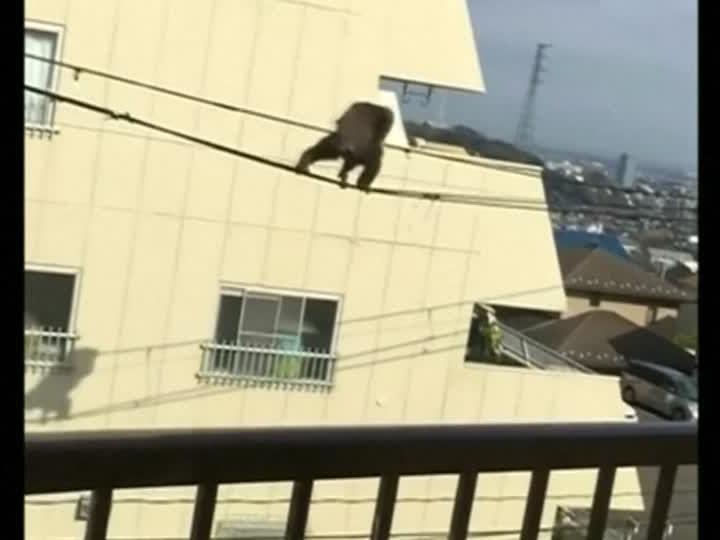 Dieser Schimpanse büchste aus einem Zoo in Japan aus und turnte auf Stromleitungen herum.