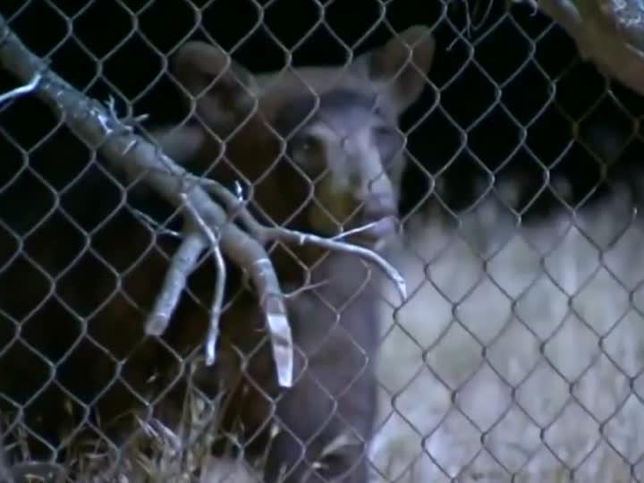 Dieser wilde Bär rannte in der nähe von Los Angeles durch eine Wohnsiedlung.