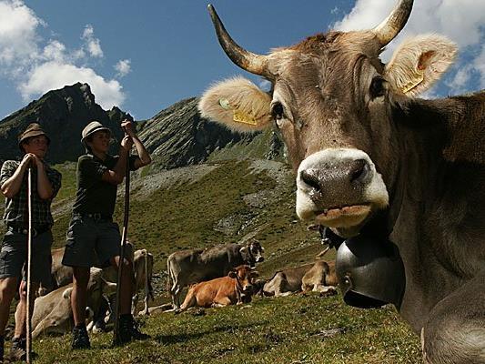 Alpen-Idylle. Einige Bauern überlegen, ob sie wegen der TBC-Gefahr ihr Vieh in die Berge schicken sollen.
