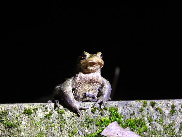 Bild einer männlichen Erdkröte beim Levner Weiher.