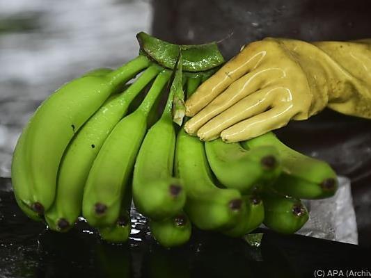 Spinnen gelangen oft mit Bananen nach Europa