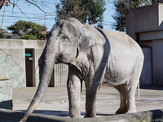 Japans ältester Elefant ist tot
