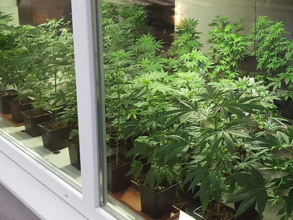 Ein Salzbrger bot in einem Schaufenster Cannabispflanzen an.