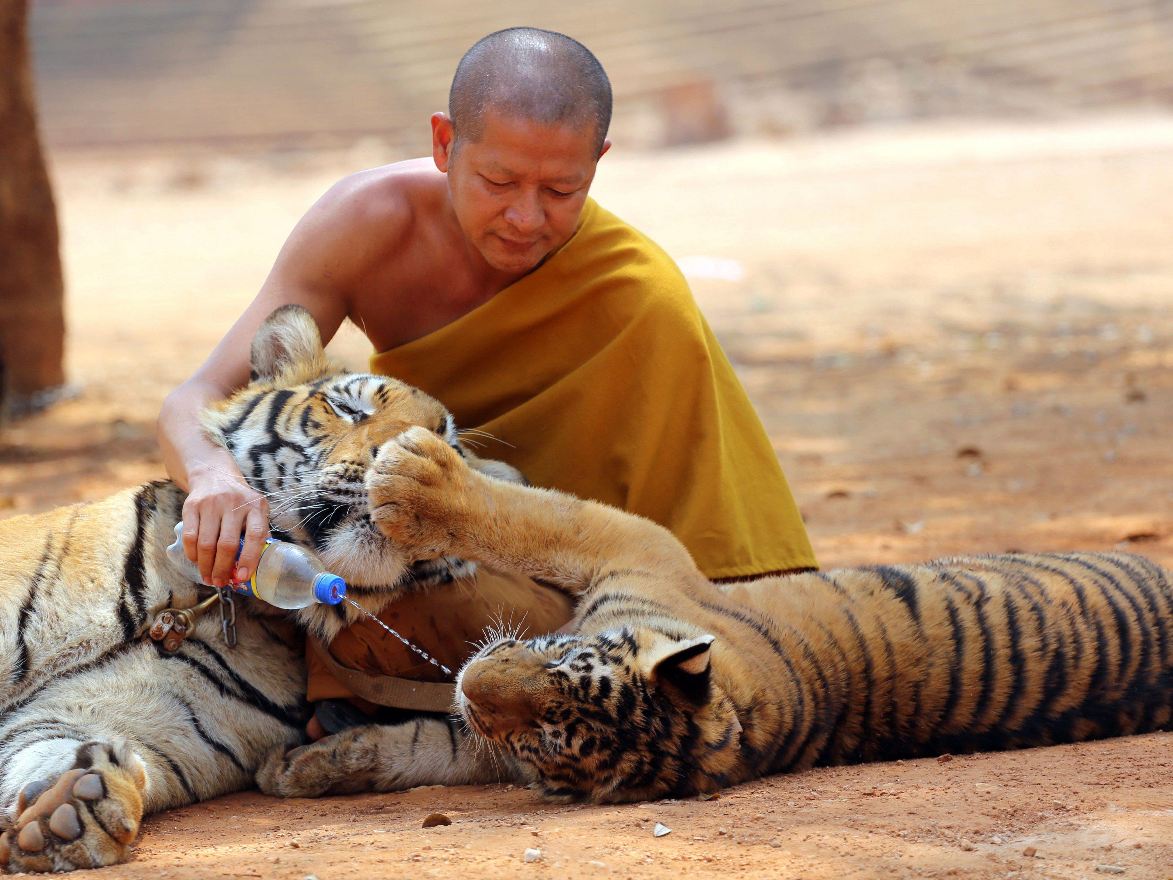 Zwei Tiger wurden aus dem Tiger Tempel in Thailand schon befreit.