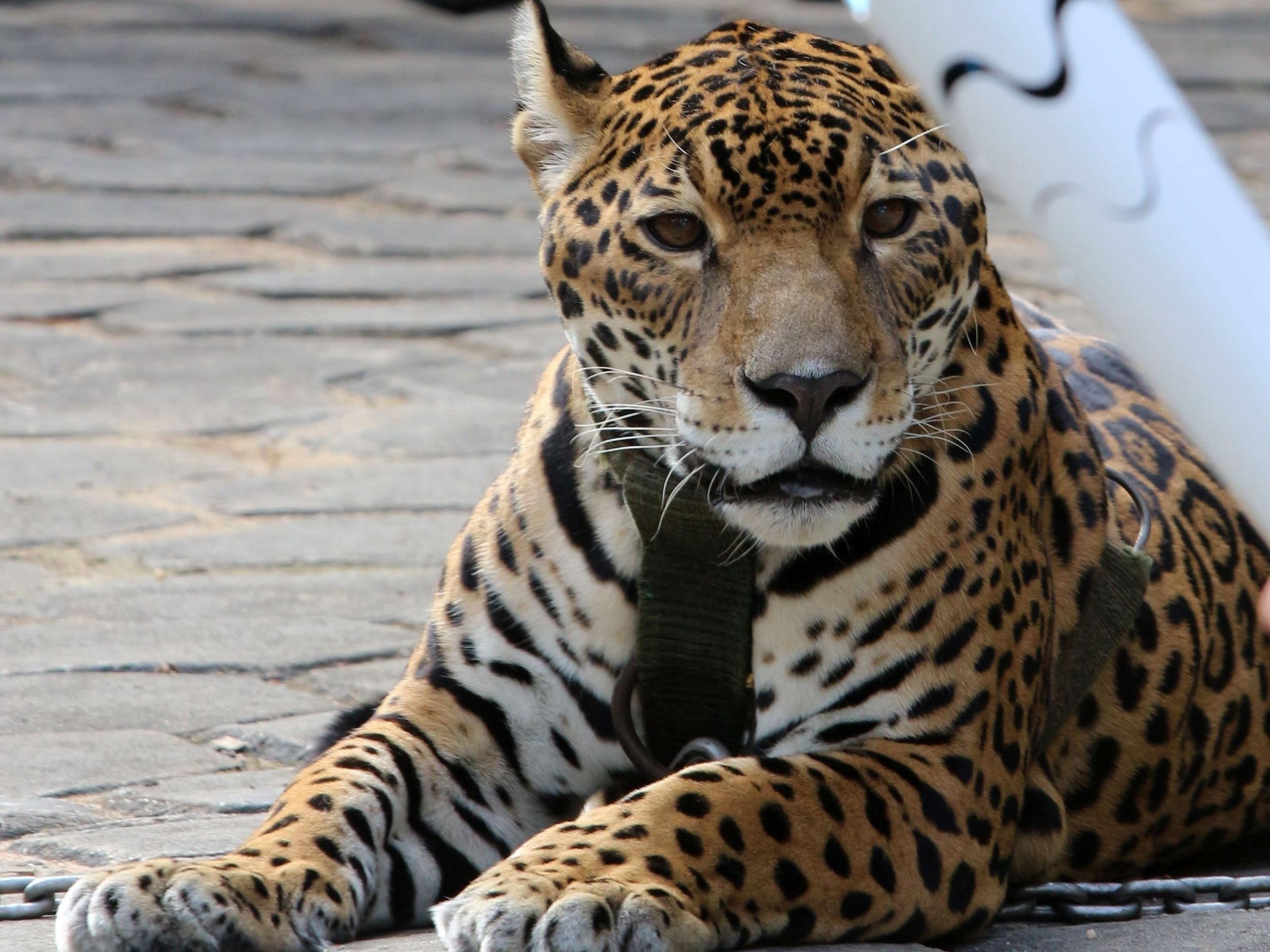 Der Jaguar war bei der Zeremonie angekettet